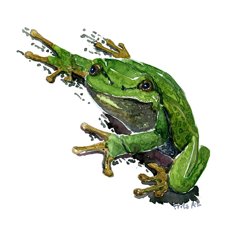 Løvfrø - Akvarel af Frits Ahlefeldt