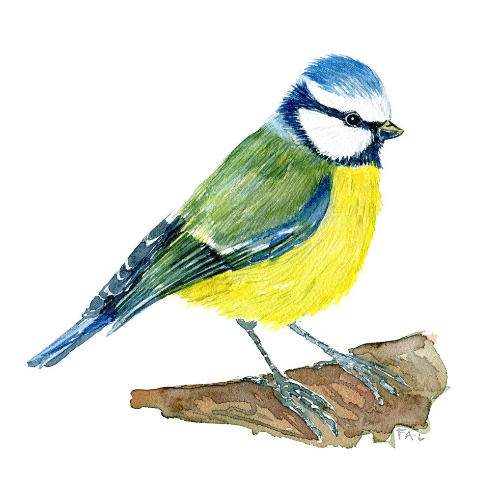 Blaamejse fugle illustration. Akvarel af Frits Ahlefeldt. Biodiversitet i Danmark