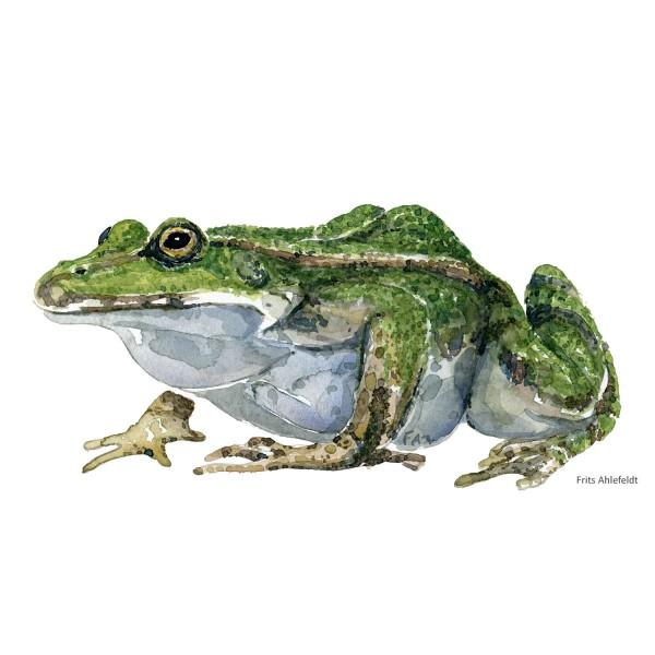 Grøn frø - Akvarel af Frits Ahlefeldt