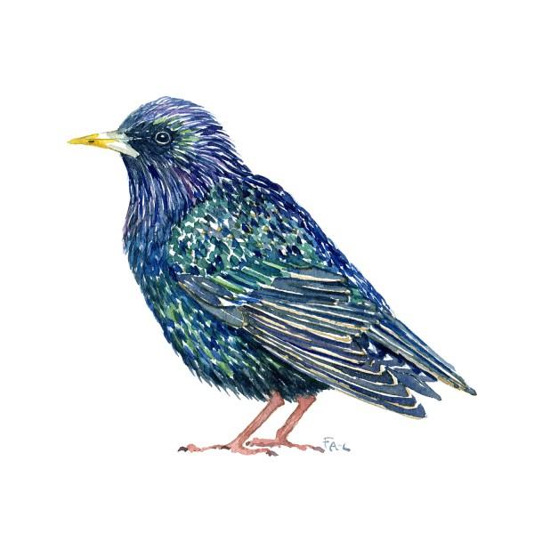 Stær fugl - Akvarel illustration af Frits Ahlefeldt, Biodiversitet i Danmark