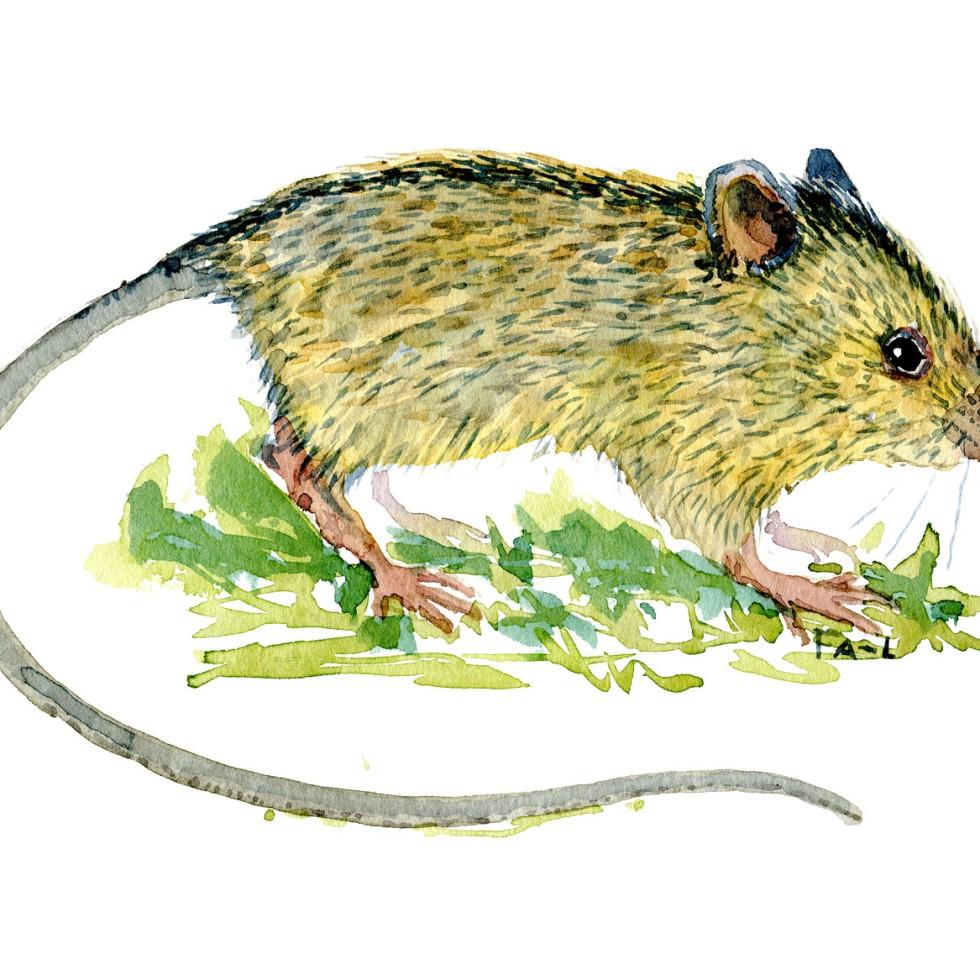 Akvarel tegning af Birkemus - illustration af Frits Ahlefeldt