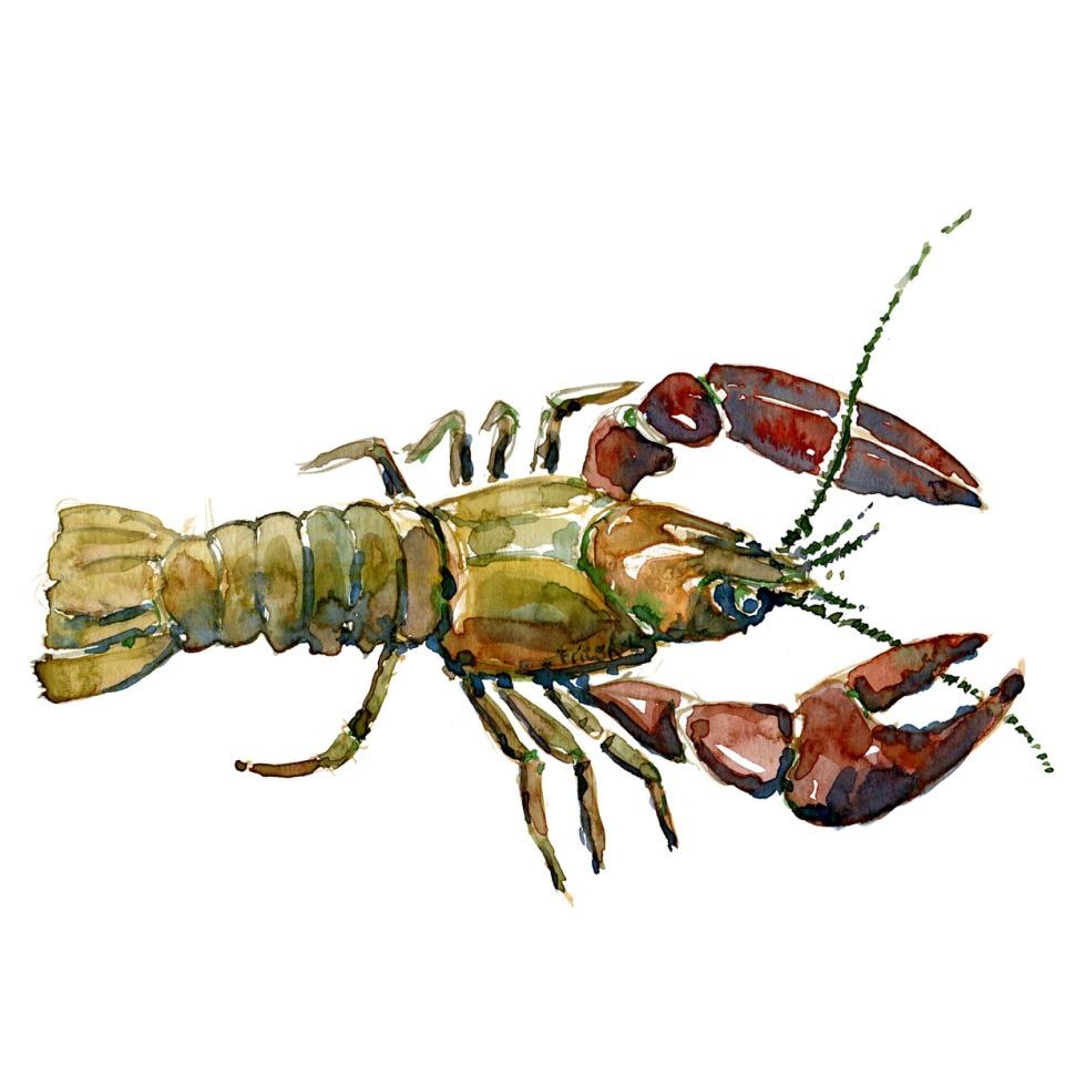 Krebs Ferskvandsfisk og biodiversitet i Danmark Akvarel af Frits Ahlefeldt