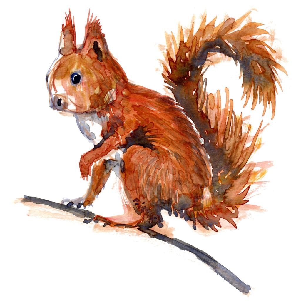 Egern rødt Pattedyr illutration biodiversitet i Danmark. Akvarel af Frits Ahlefeldt