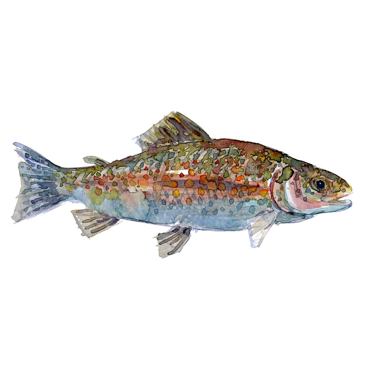 Ørred Ferskvandsfisk og biodiversitet i Danmark Akvarel af Frits Ahlefeldt
