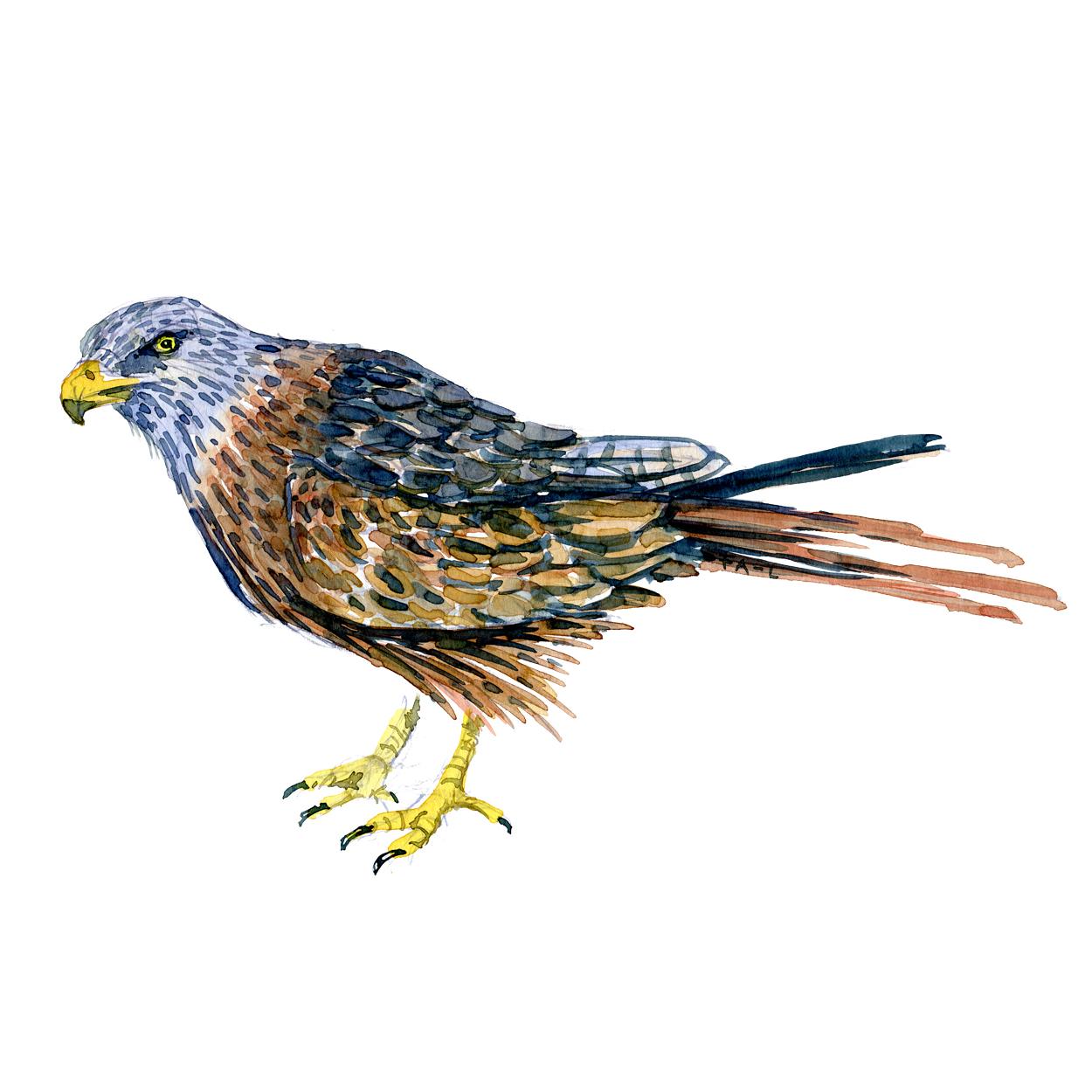 Roed Glente fugle akvarel af Frits Ahlefeldt, Biodiversitet i Danmark illustration