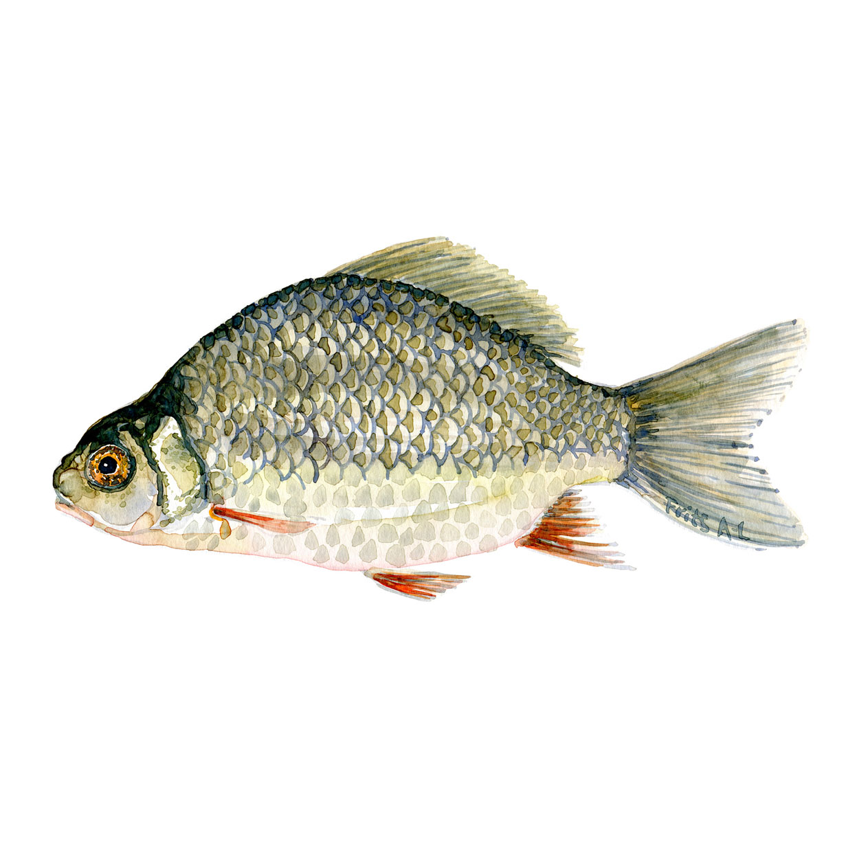 Karusse Ferskvandsfisk og biodiversitet i Danmark Akvarel af Frits Ahlefeldt