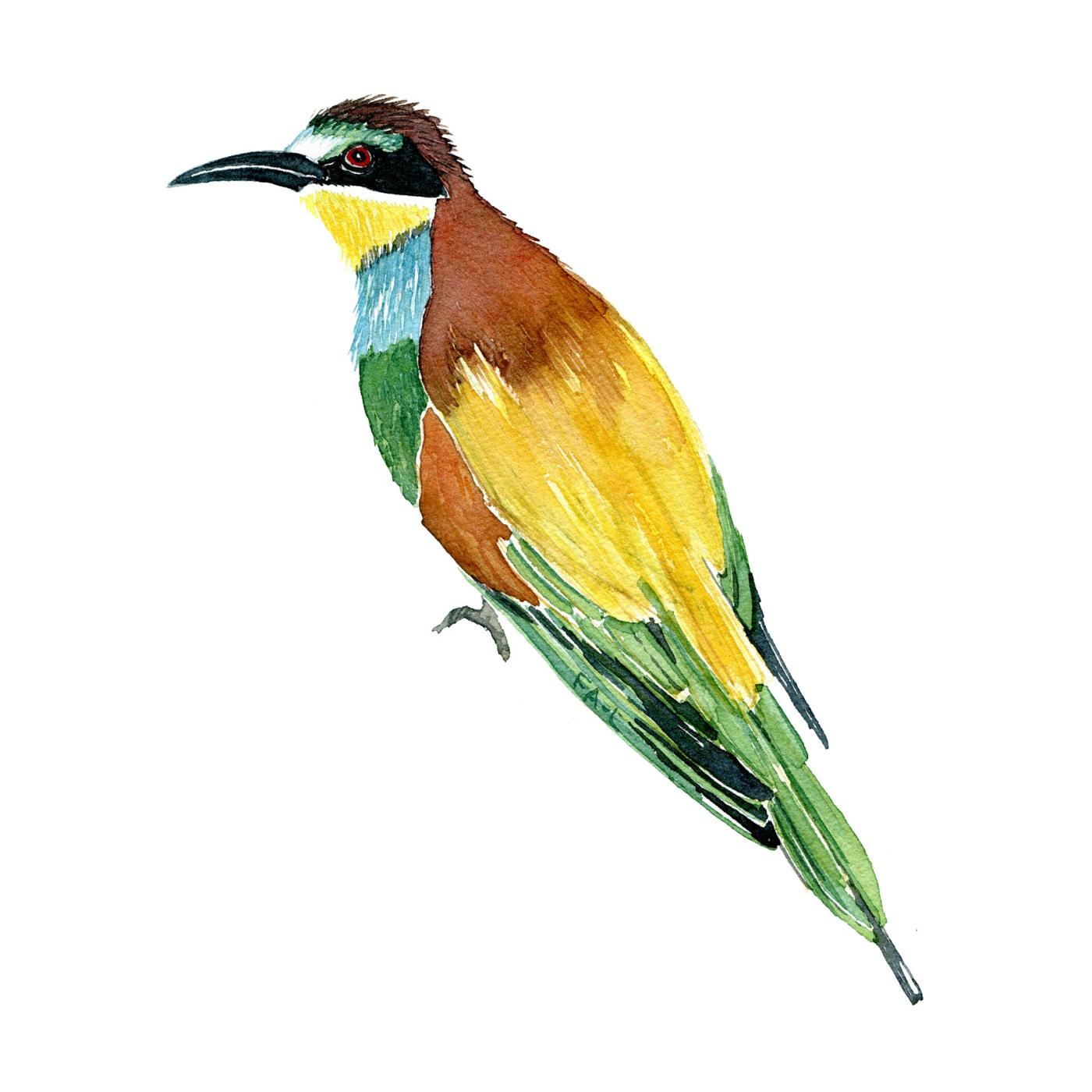 fugl - Akvarel af Frits Ahlefeldt, Biodiversitet i Danmark