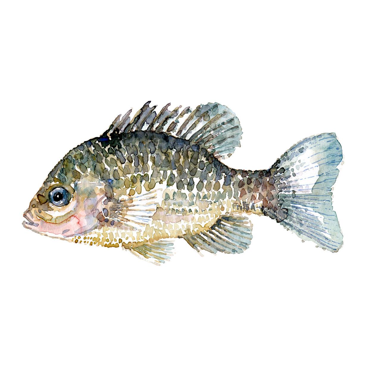 Solaborre Ferskvandsfisk og biodiversitet i Danmark Akvarel af Frits Ahlefeldt