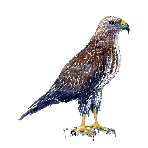Musvfugle akvarel af Frits Ahlefeldt, Biodiversitet i Danmark illustrationaage