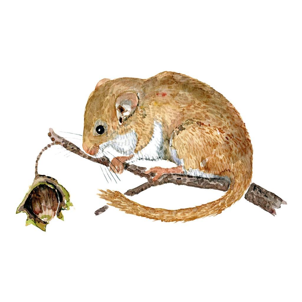 Akvarel af Hasselmus - Tegning af Frits Ahlefeldt