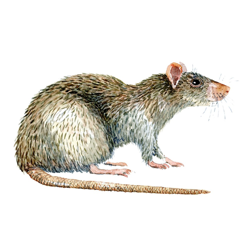Rotte sideview Pattedyr illutration biodiversitet i Danmark. Akvarel af Frits Ahlefeldt