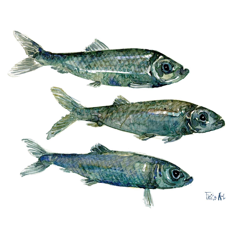 Sild saltvandsfisk illustration af biodiversitet i Danmark. Akvarel af Frits Ahlefeldt