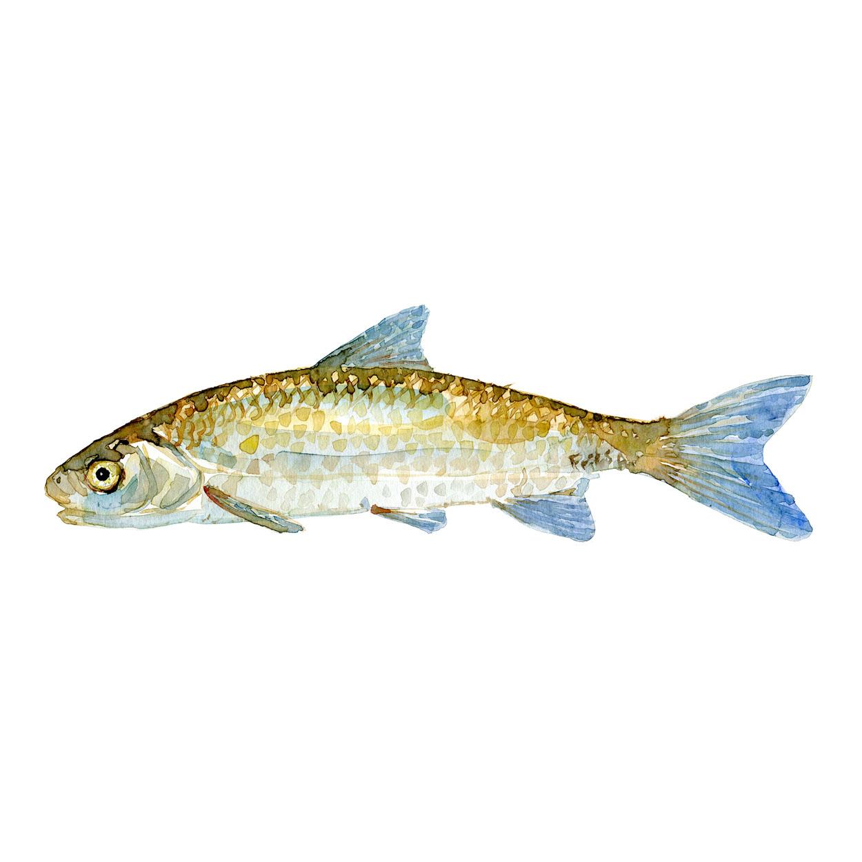 Strømskalle Ferskvandsfisk og biodiversitet i Danmark Akvarel af Frits Ahlefeldt