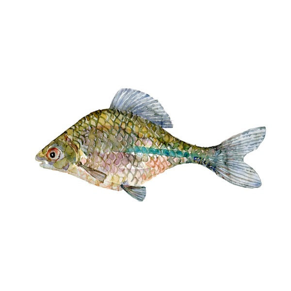 Bitterling Ferskvandsfisk og biodiversitet i Danmark Akvarel af Frits Ahlefeldt