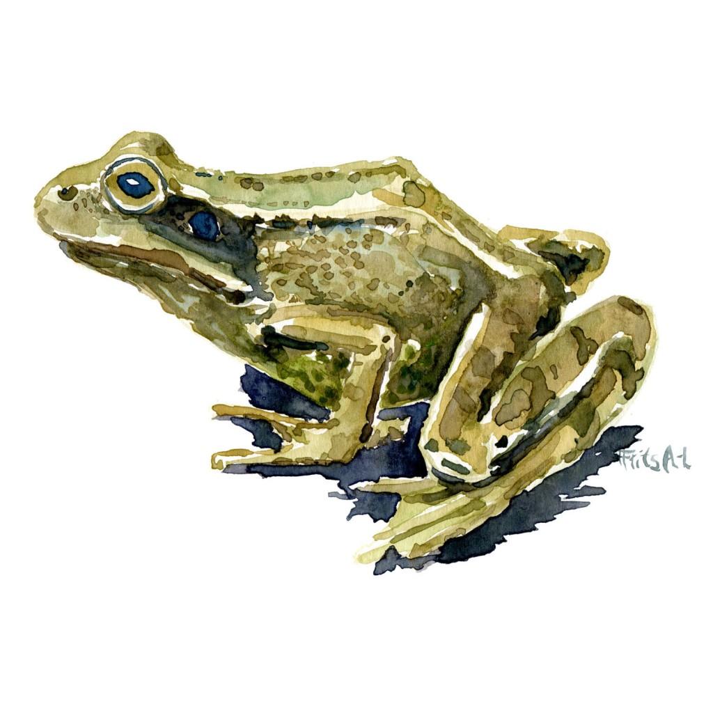Akvarel af Butsnuet frø. Side. Tegning af Frits Ahlefeldt
