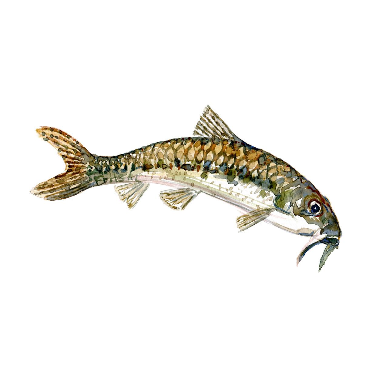Grundling Ferskvandsfisk og biodiversitet i Danmark Akvarel af Frits Ahlefeldt