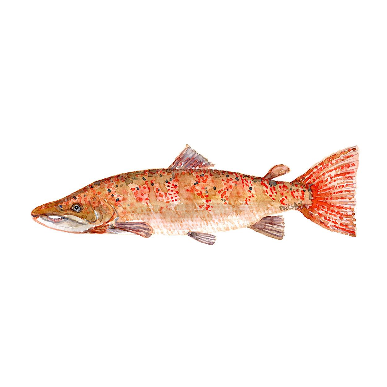 laks fisk og biodiversitet i Danmark Akvarel af Frits Ahlefeldt