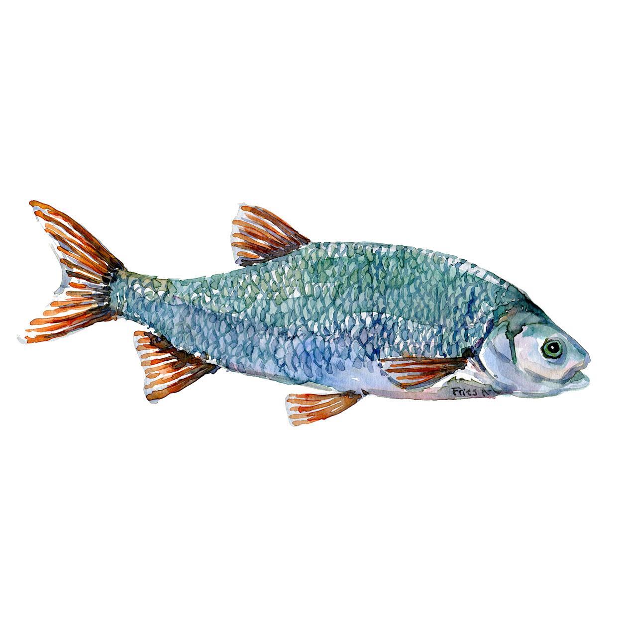 Rimte Ferskvandsfisk og biodiversitet i Danmark Akvarel af Frits Ahlefeldt