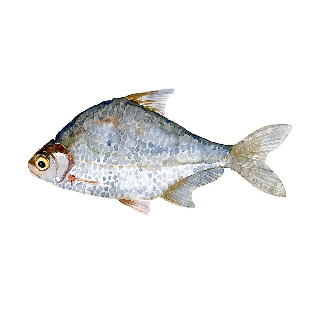 Flire Ferskvandsfisk og biodiversitet i Danmark Akvarel af Frits Ahlefeldt