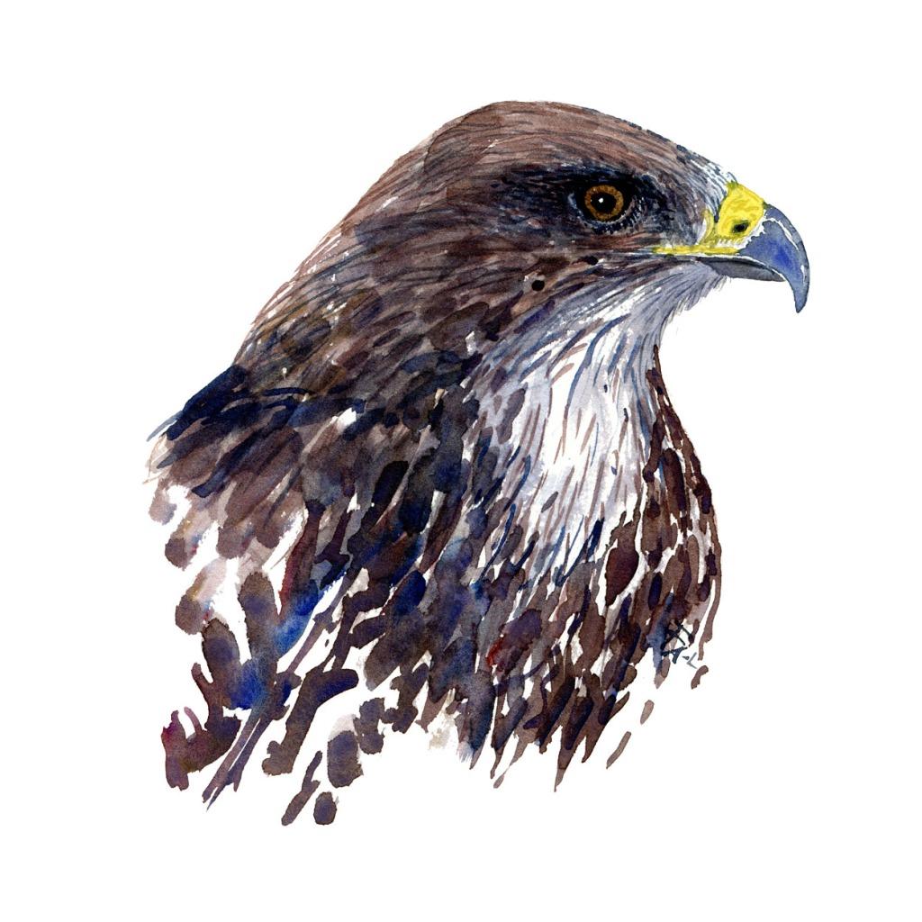 Musvaage fugle akvarel af Frits Ahlefeldt, Biodiversitet i Danmark illustration