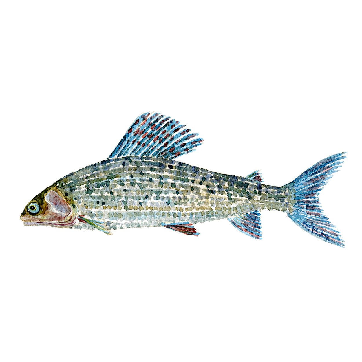 Stalling Ferskvandsfisk og biodiversitet i Danmark Akvarel af Frits Ahlefeldt