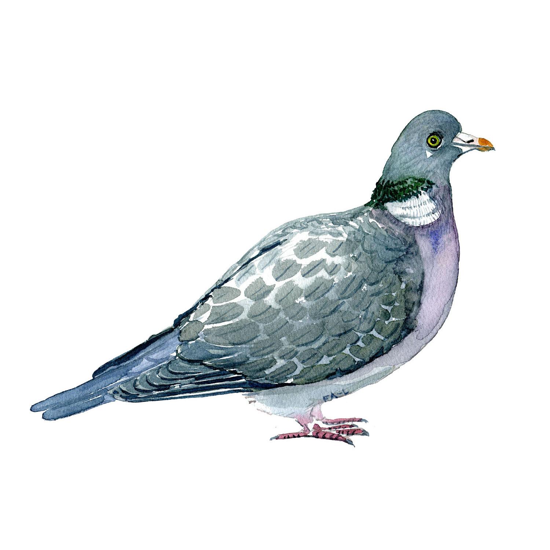 Skovdue fugl - Akvarel illustration af Frits Ahlefeldt, Biodiversitet i Danmark