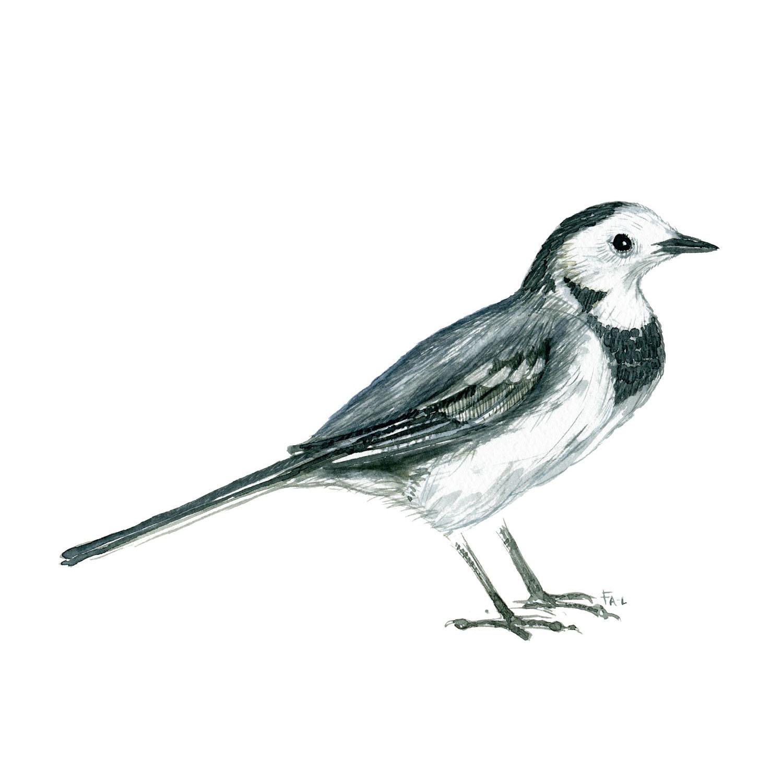 Vipstjert fugl - Akvarel illustration af Frits Ahlefeldt, Biodiversitet i Danmark