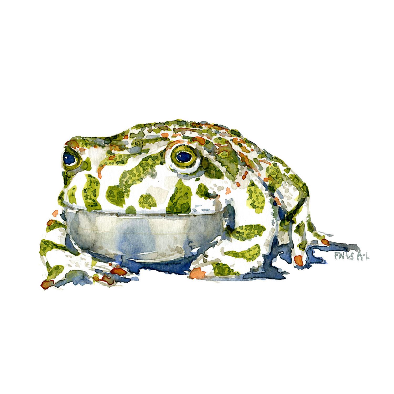 Grønbroget tudse - Akvarel af Frits Ahlefeldt
