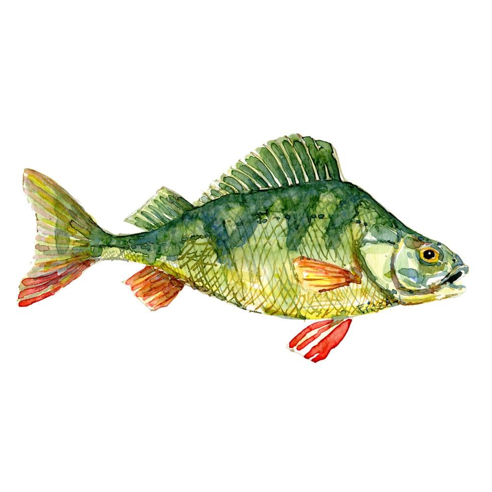 Aborre Ferskvandsfisk og biodiversitet i Danmark Akvarel af Frits Ahlefeldt