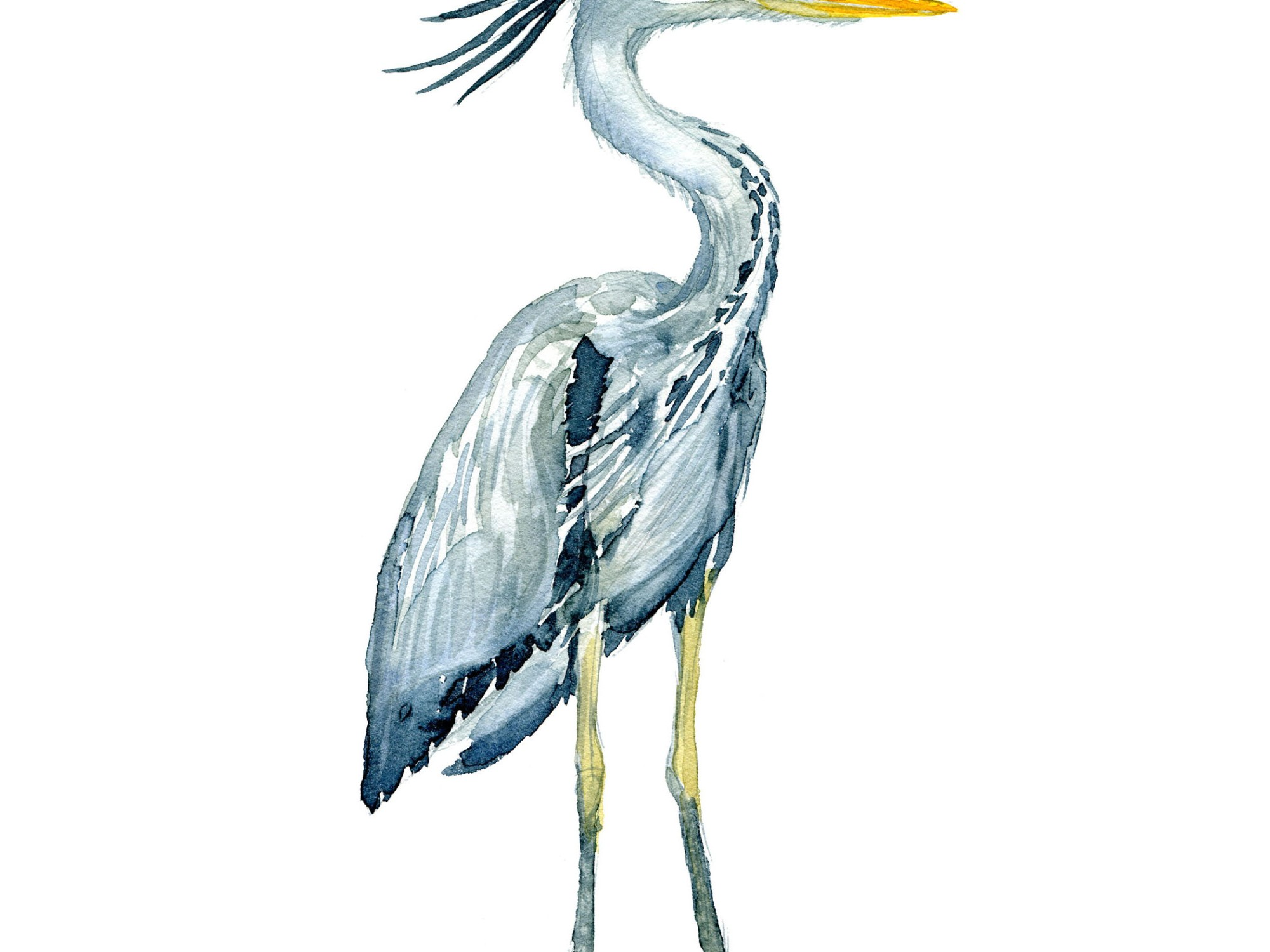 Fiskehejre fugl - Akvarel illustration af Frits Ahlefeldt, Biodiversitet i Danmark