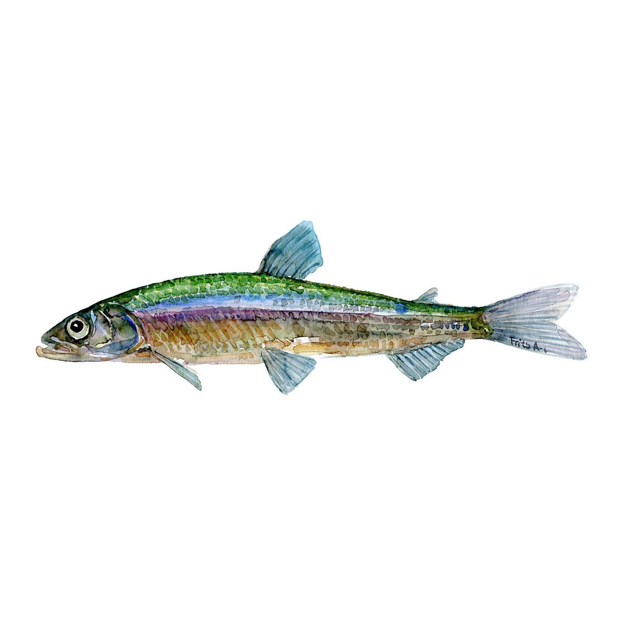 Helting Ferskvandsfisk og biodiversitet i Danmark Akvarel af Frits Ahlefeldt