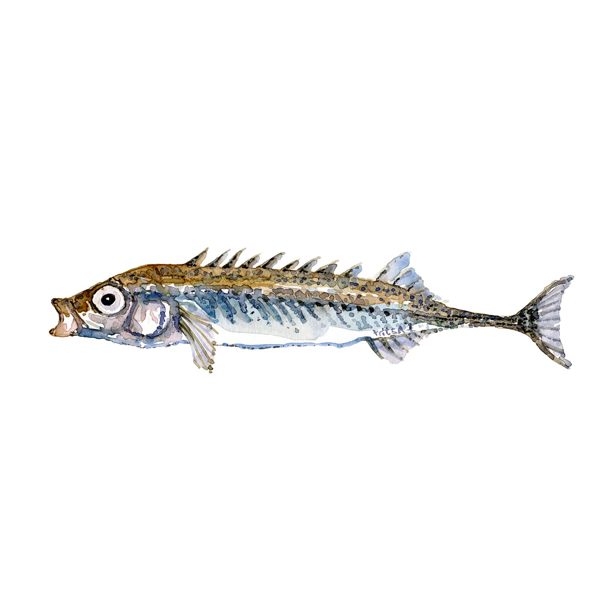 Nipigget hundestejle Ferskvandsfisk og biodiversitet i Danmark Akvarel af Frits Ahlefeldt