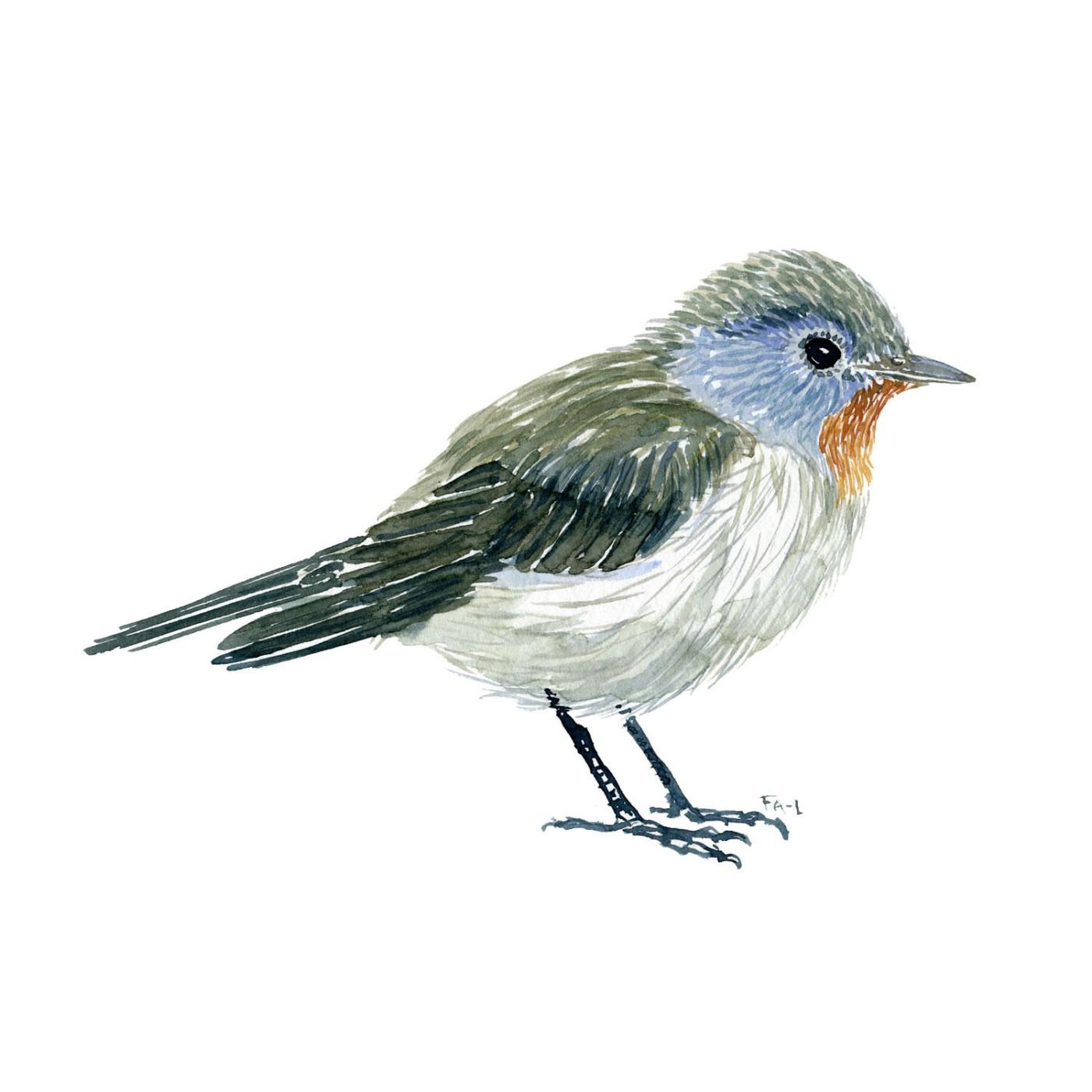 Lille Fluesnapper fugle illustration. Akvarel af Frits Ahlefeldt. Biodiversitet i Danmark