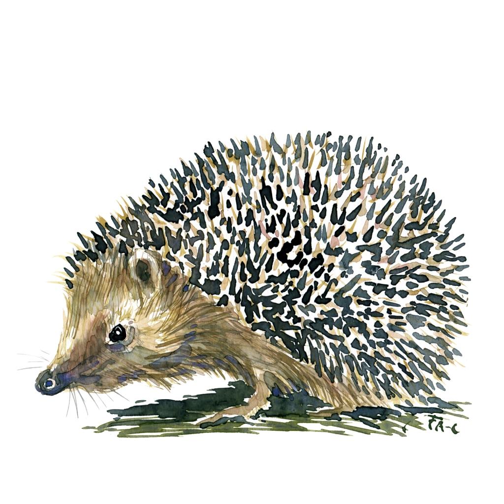 Pindsvin set fra siden Pattedyr illutration biodiversitet i Danmark. Akvarel af Frits Ahlefeldt