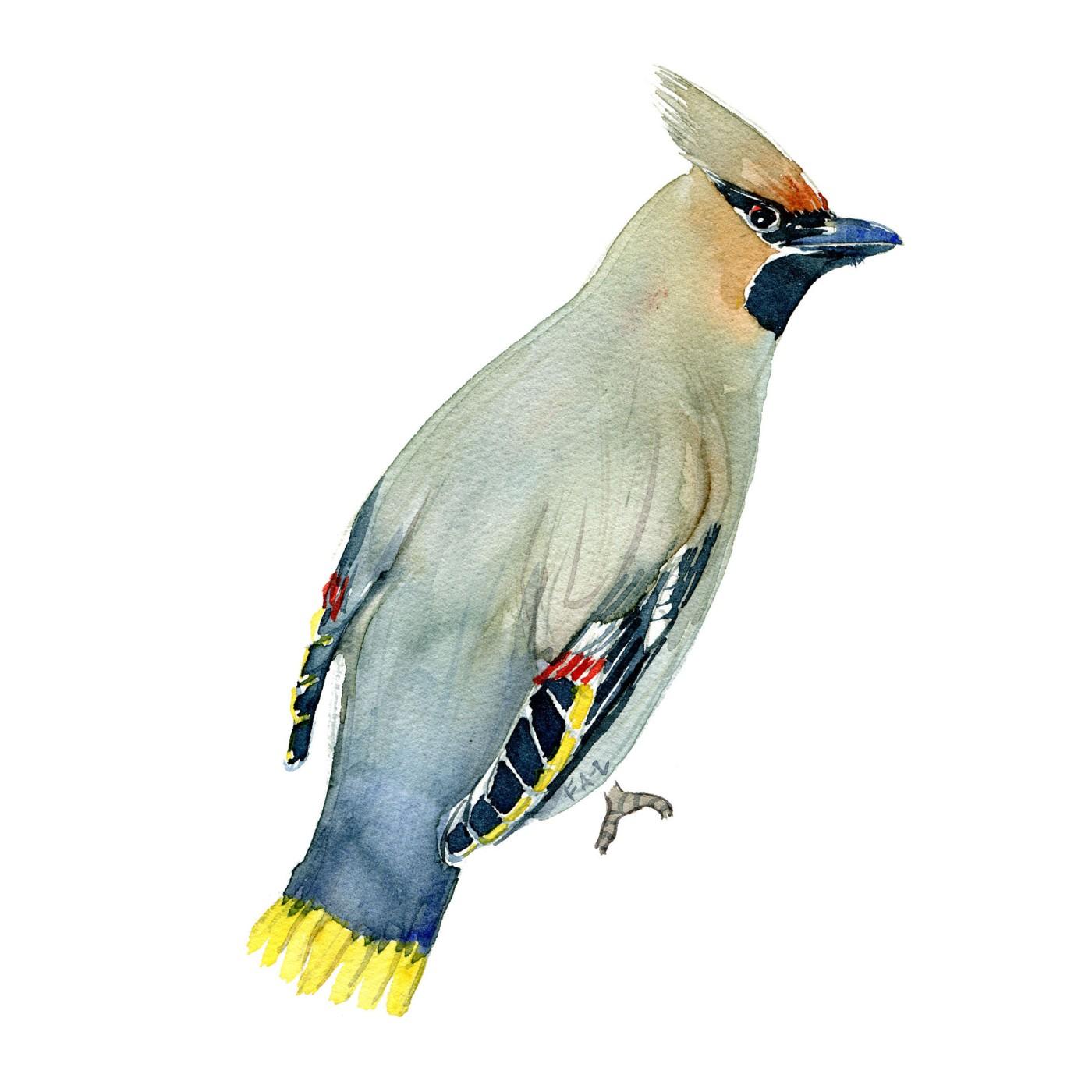 Silkehale fugl - Akvarel illustration af Frits Ahlefeldt, Biodiversitet i Danmark