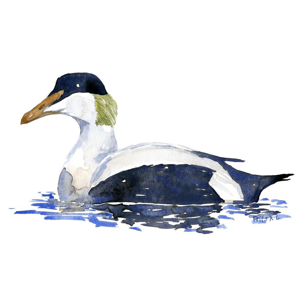 Edderfugl fugle akvarel af Frits Ahlefeldt, Biodiversitet i Danmark illustration