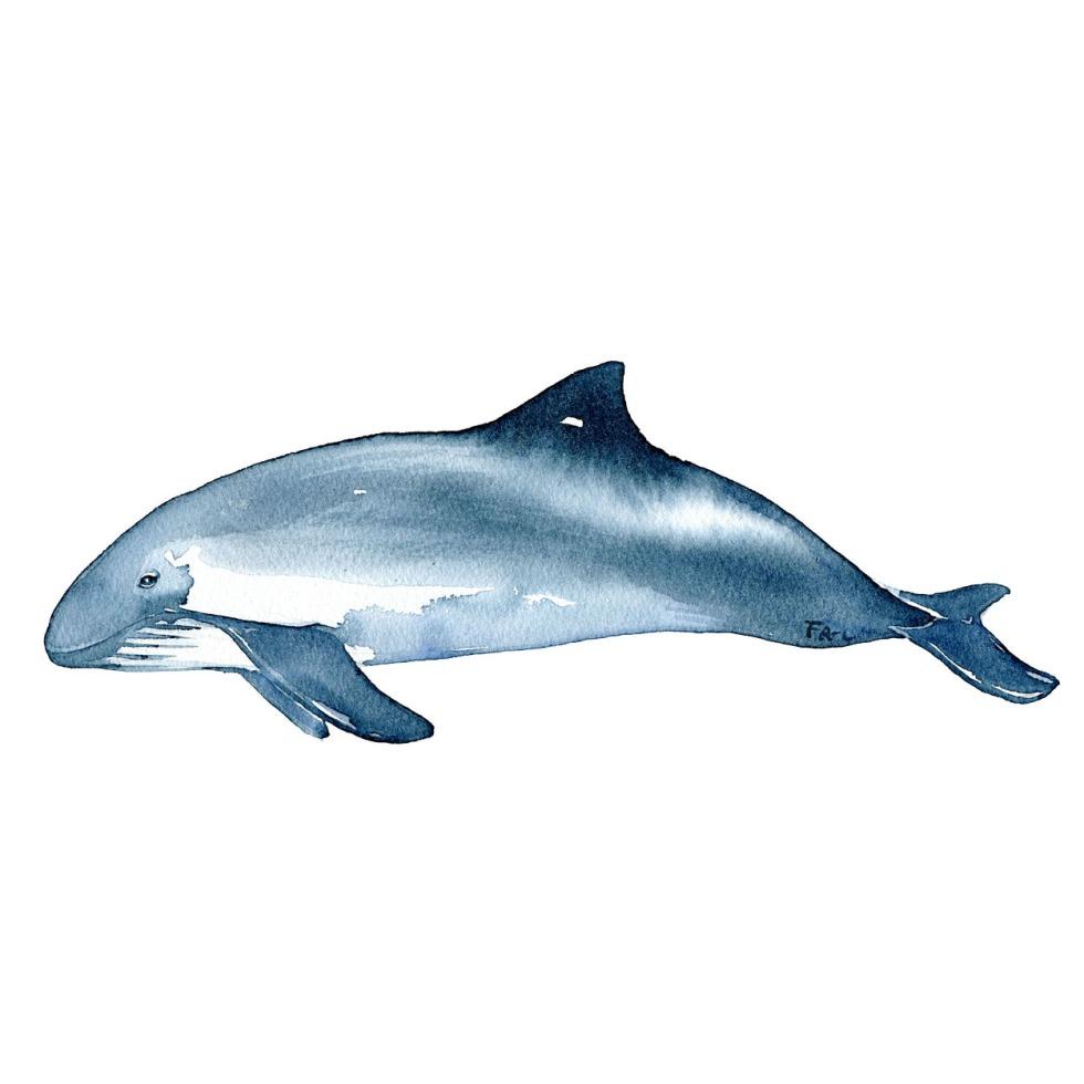 Marsvin hval illustration. Biodiversitet i Danmark akvarel af Frits Ahlefeldt