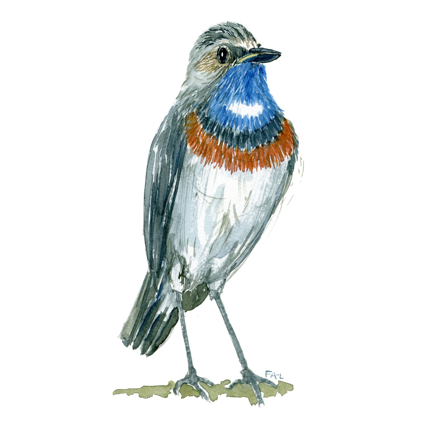 Blåhals fugl - Akvarel illustration af Frits Ahlefeldt, Biodiversitet i Danmark