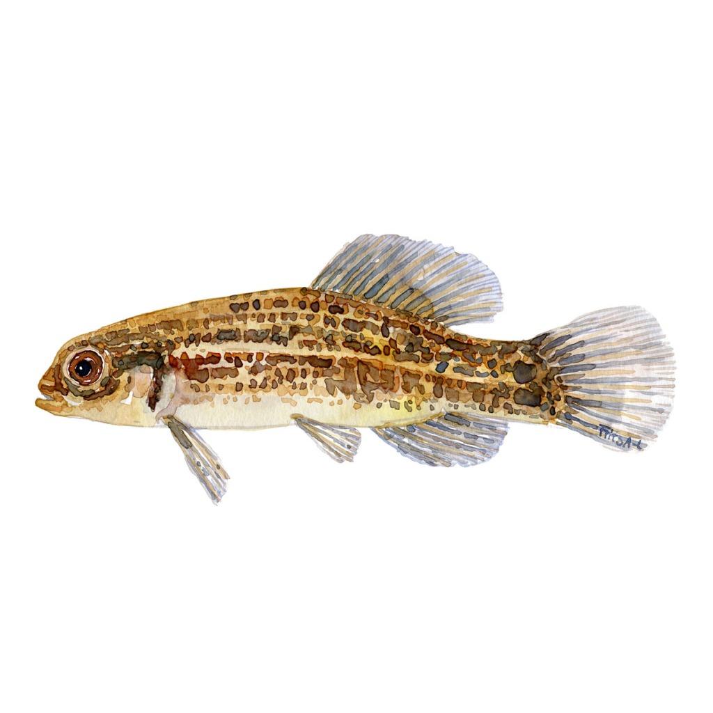 Lille hundefisk Ferskvandsfisk og biodiversitet i Danmark Akvarel af Frits Ahlefeldt