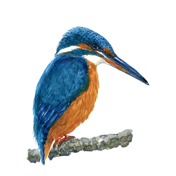 Isfugl fugl - Akvarel illustration af Frits Ahlefeldt, Biodiversitet i Danmark