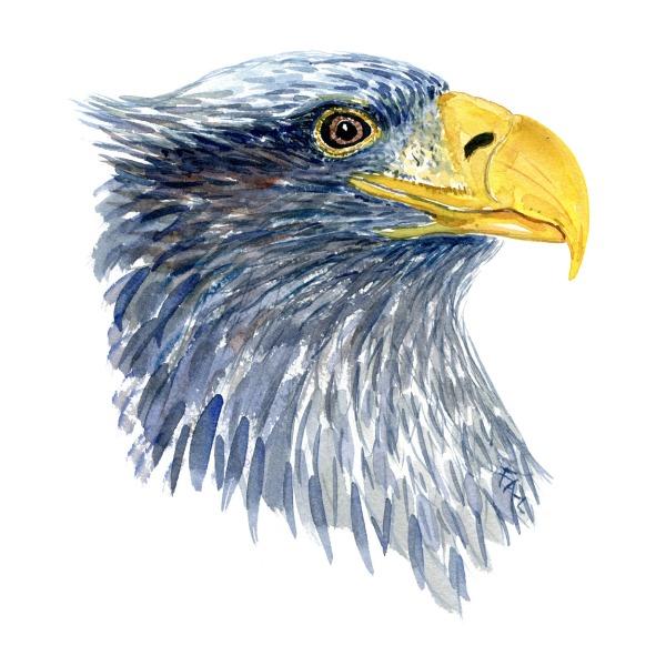 Havorn portræt fugle akvarel af Frits Ahlefeldt, Biodiversitet i Danmark illustration