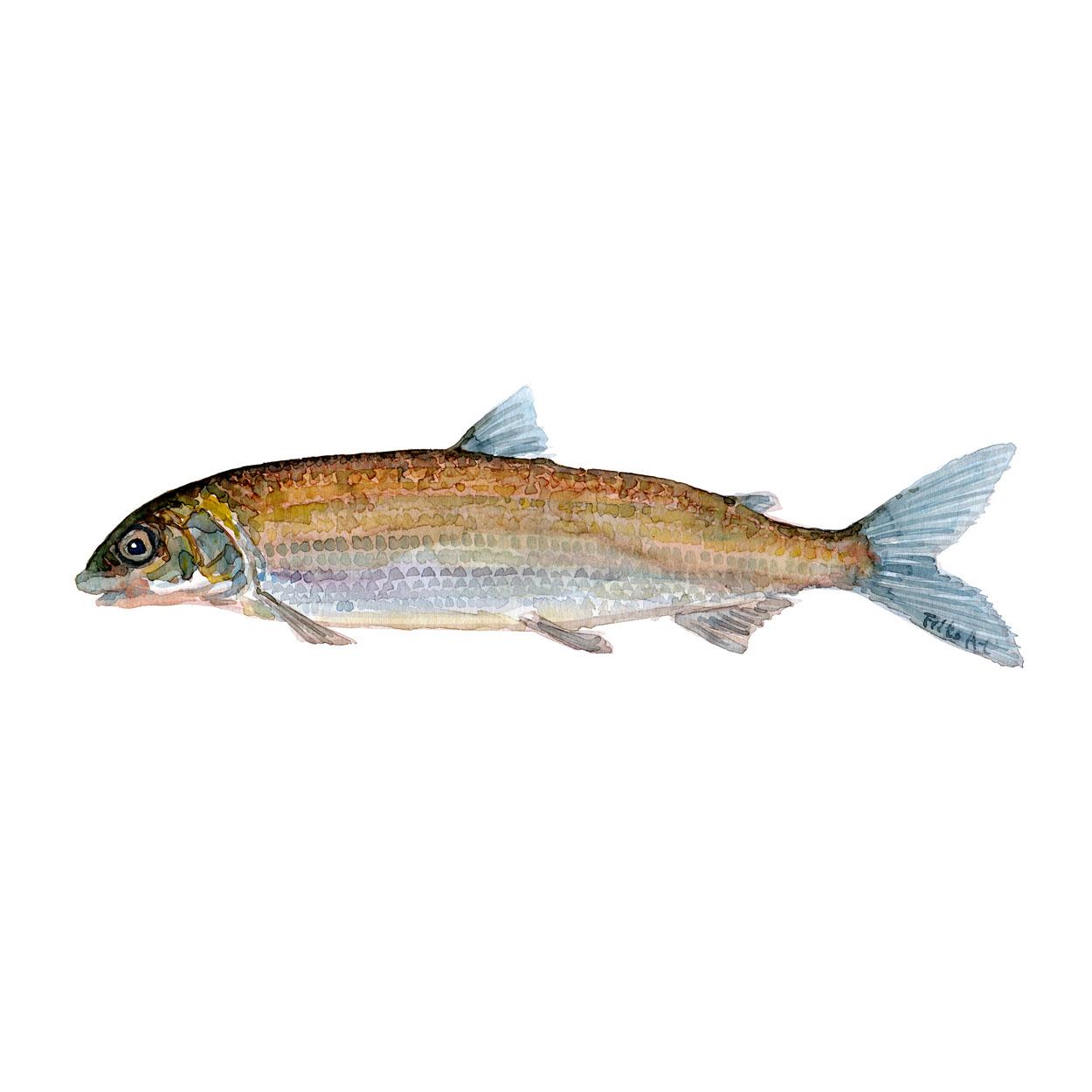 Helt Ferskvandsfisk og biodiversitet i Danmark Akvarel af Frits Ahlefeldt