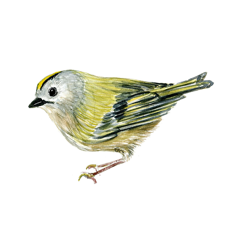 Fuglekonge fugl Akvarel af Frits Ahlefeldt