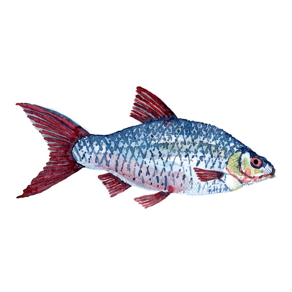 Skalle Ferskvandsfisk og biodiversitet i Danmark Akvarel af Frits Ahlefeldt