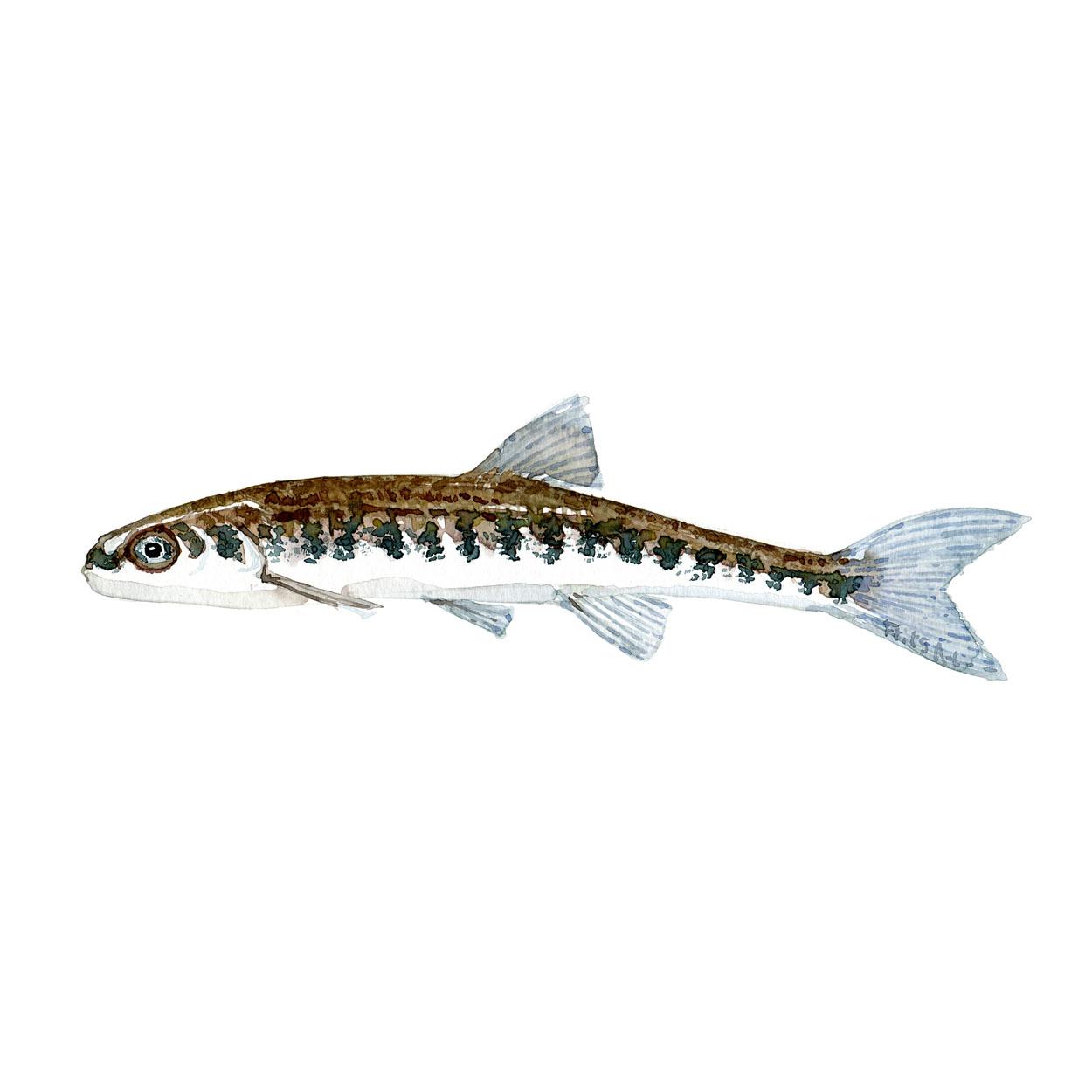 Elritse Ferskvandsfisk og biodiversitet i Danmark Akvarel af Frits Ahlefeldt
