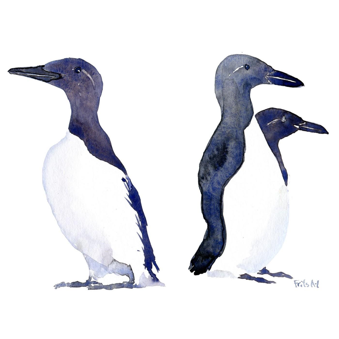 Lomvie fugle akvarel af Frits Ahlefeldt, Biodiversitet i Danmark illustration