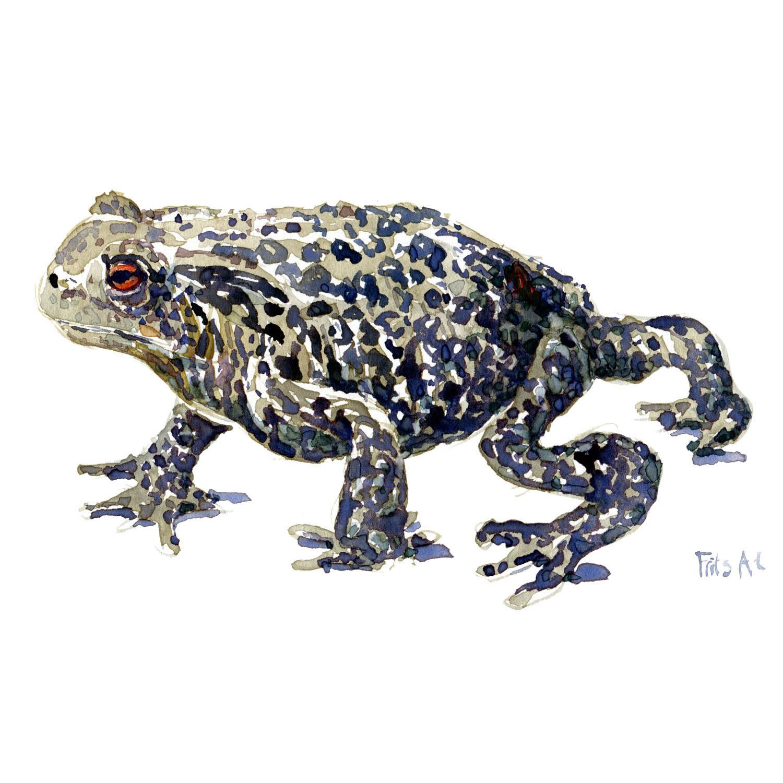 Skrubtudse - Akvarel af Frits Ahlefeldt