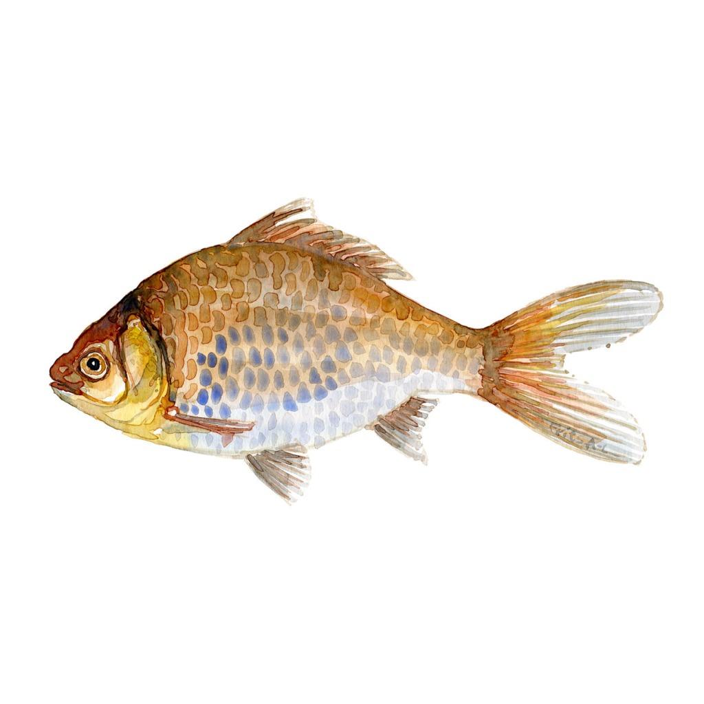 Sølvkarusse Ferskvandsfisk og biodiversitet i Danmark Akvarel af Frits Ahlefeldt