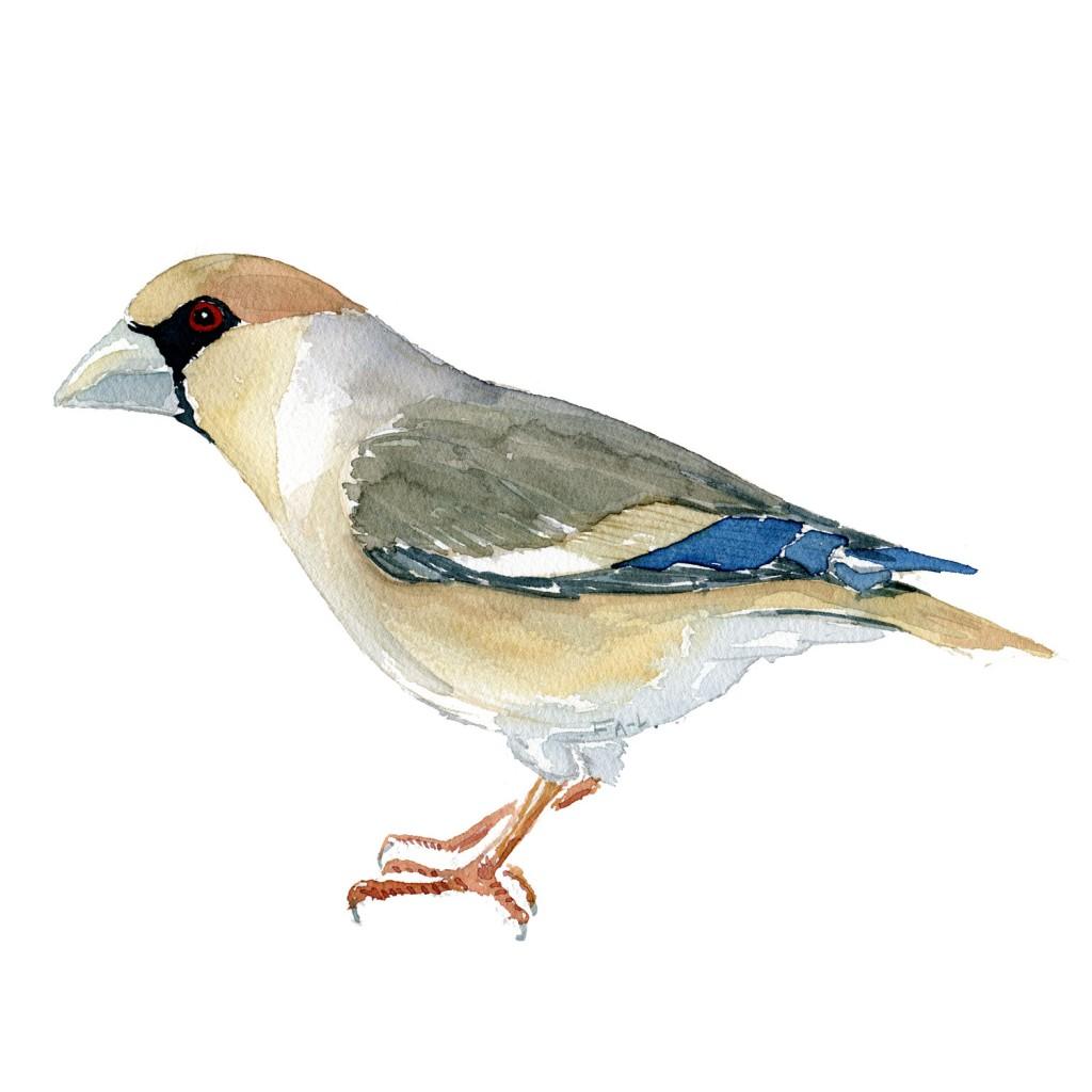 Kernebider fugl i Danmark. Illustration om biodiversitet akvarel af Frits Ahlefeldt
