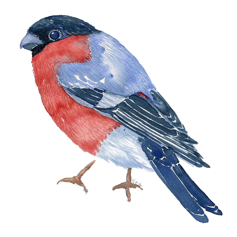 Dompap fugl - Akvarel af Frits Ahlefeldt